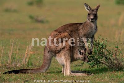 Canguro gris del este (Macropus giganteus)