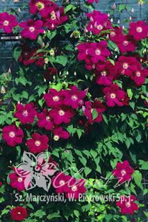 http://www.clematis.com.pl/ru/encyklopedia?plantid=245&view=plant