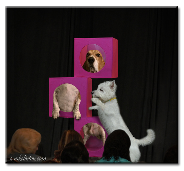 Westie and basset performing magic