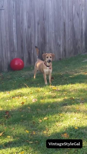 German Shepherd playing with ball