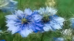 Nigella plant