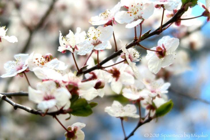 スペインの桜