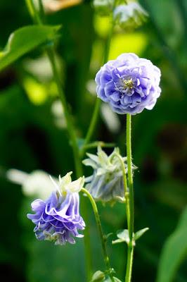 plants, flowers, aquilegia,