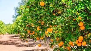 feria de la naranja matlapa 2020