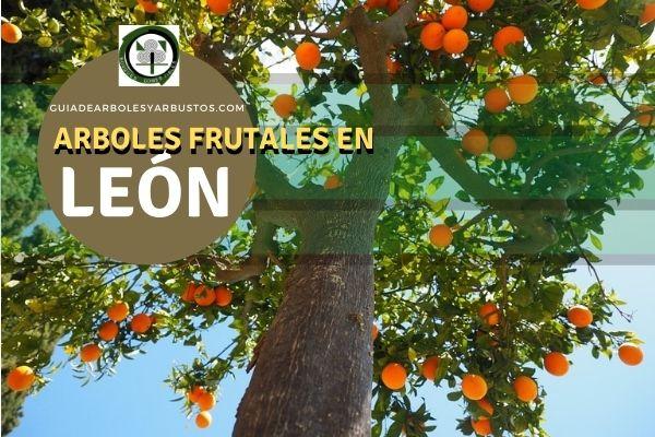 Arboles frutales en la León, España