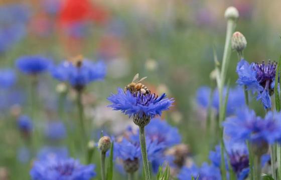 Κενταύρια κυανή ένα σούπερ μελισσοτροφικό φυτό