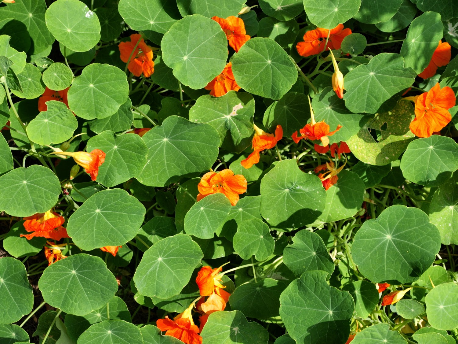 An image of nasturtium (Tropaeolum majus) leaves and flowers