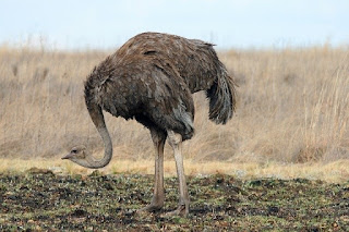 النعامة Ostrich