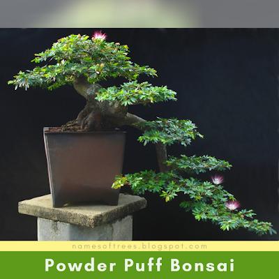 Powder Puff Bonsai