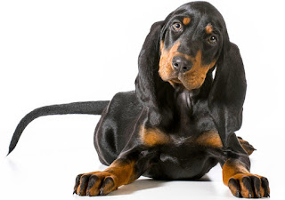 Everything about your Black and Tan Coonhound