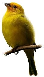 Pássaro Canário da Terra (Sicalis flaveola)