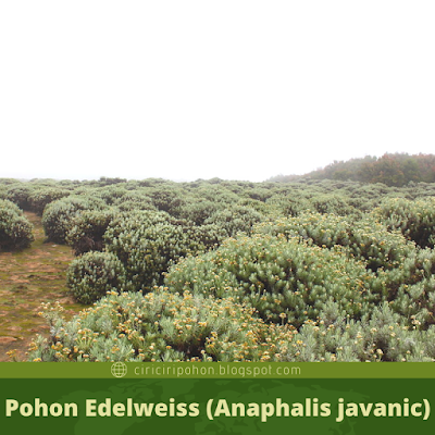 Ciri Ciri Pohon Edelweiss (Anaphalis javanic)
