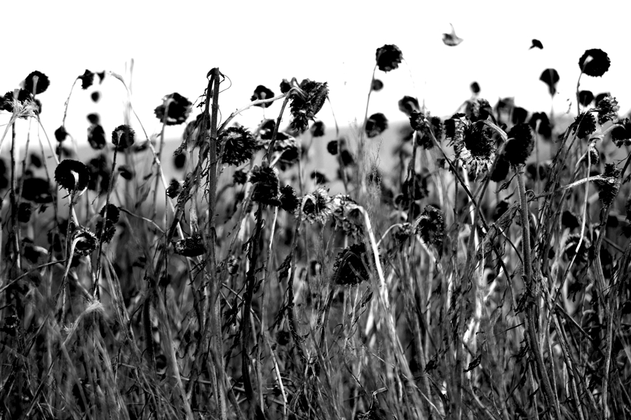 Blog + Fotografie by it's me! - #FiveDayBlackandWhiteChallenge - Feld mit vertrockneten Sonnenblumen