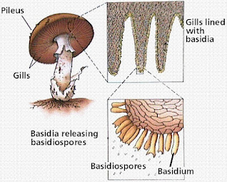 Letak basidiospora