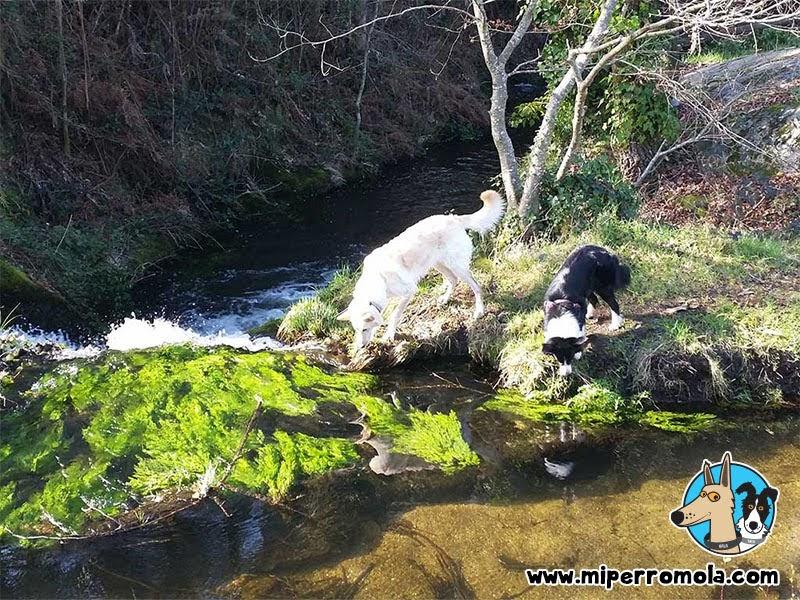 Can de Palleiro y Border Collie en la ruta de senderismo con perros Río dos Dous Nomes - PRG-35