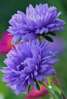 aster-de-petalos-azules