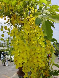 Jual Pohon Trengguli,Jual Pohon Cassia Fistula Bunga Kuning