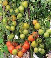 cara mencegah penyakit layu, tomat, cabai, benih hibrida, jual benih tomt, jual benih cabai, toko pertanian, toko online, lmga agro
