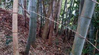 竹林にピントが合わずに手前の笹の枯れ枝にピントが