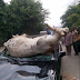 Man narrates how a cow rammed into a car in Aba, Abia state