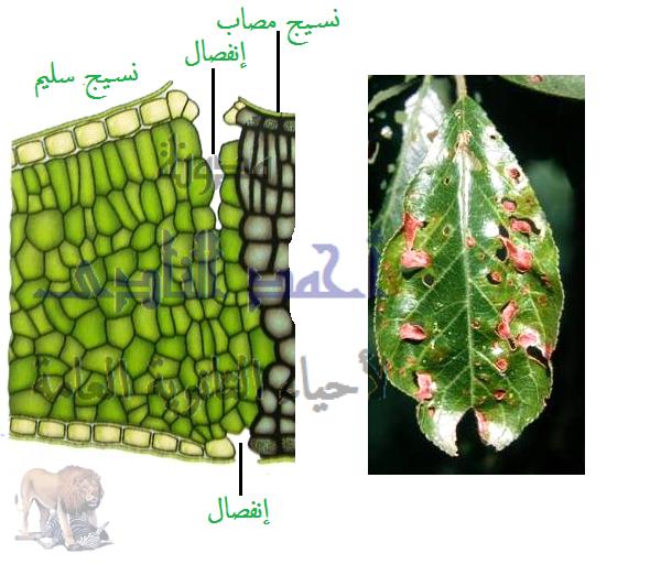 الوسائل المناعية التركيبية الناتجة كإستجابة للإصابة بالكائنات الممرضة ( تتكون بعد الإصابة ) ( المناعة المكتسبة )- تراكيب مناعية خلوية - احاطة هيفات الفطر