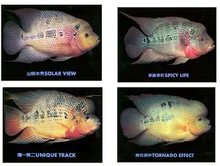 Tips Memilih Anakan Ikan Louhan