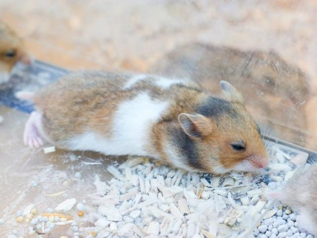 Không nên mua chuột hamster nếu có những biểu hiện sau
