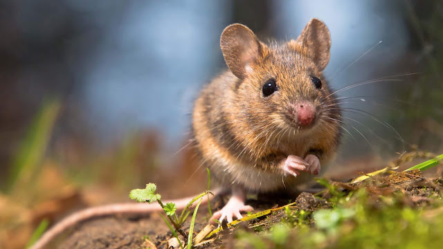 A selfish gene makes mice into migrants