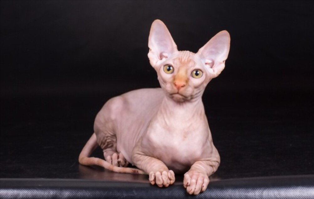 How Much Does Sphynx Cat Cost