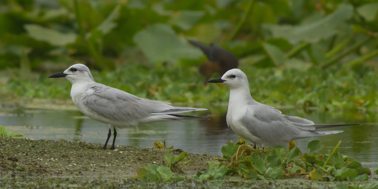 Gull-billed Terns at Orlando Wetlands Park, 11/24/2017