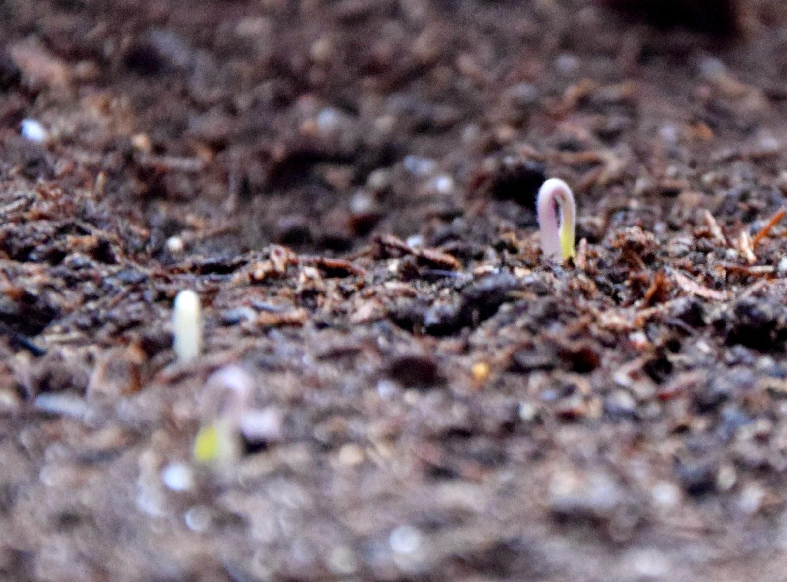 kiełkujące nasionko