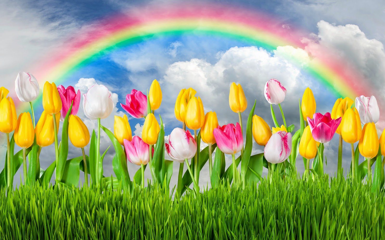 tulpen blumen gras regenbogen hd hintergrundbilder. Black Bedroom Furniture Sets. Home Design Ideas