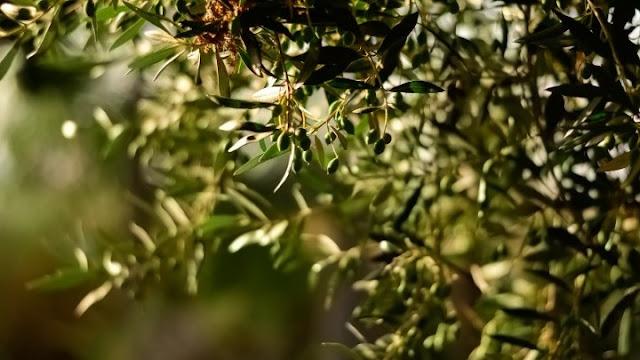 ΄Ετοιμη η προκήρυξη για ενίσχυση 30ευρώ/στρέμμα στους ελαιοκαλλιεργητές - Τον Νοέμβριο οι αιτήσεις