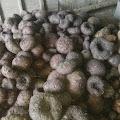 Kelompok Tani Porang Dusun Gentan, Hasilkan Ratusan Ton Porang Dalam Satu Musim Panen
