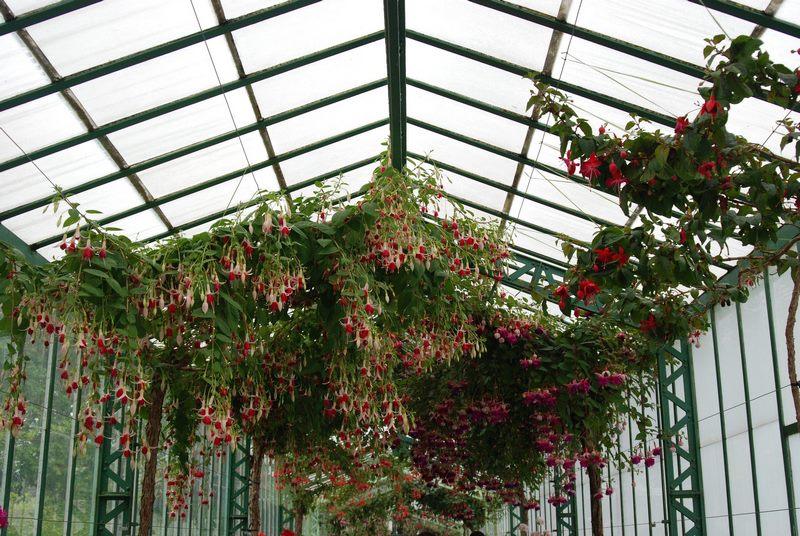 Fuchsia en Small Geranium Gallery en Invernaderos Reales de Laeken