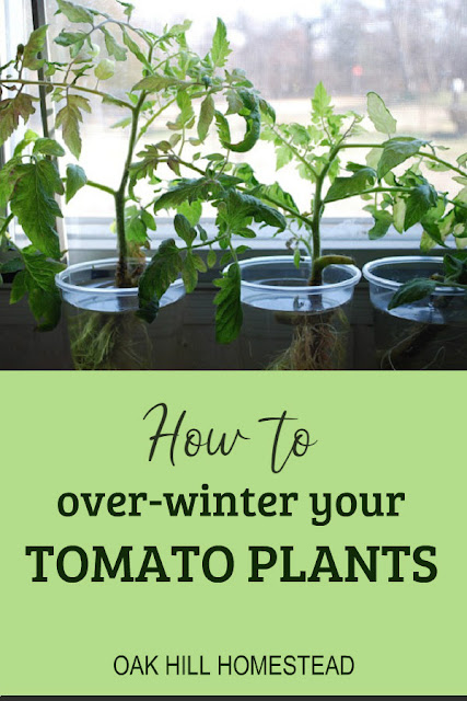 Here's how to over-winter your tomato plants so you'll have a head start next spring.