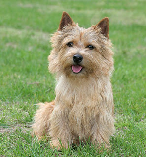 Everything about your Norwich Terrier