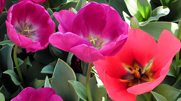 Magenta and Red Tulips