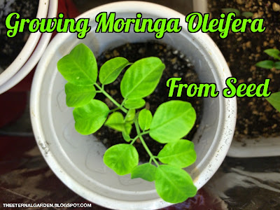 Growing The Moringa Oleifera Tree from seed aka The Miracle Tree