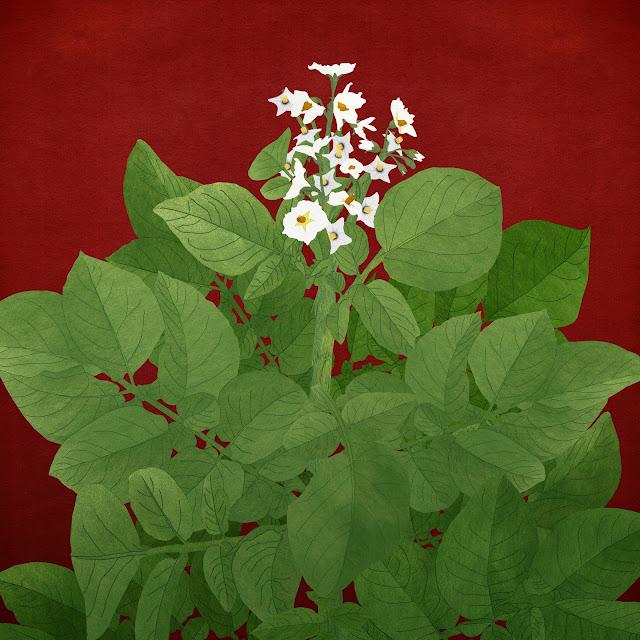 Patatera, planta, flor