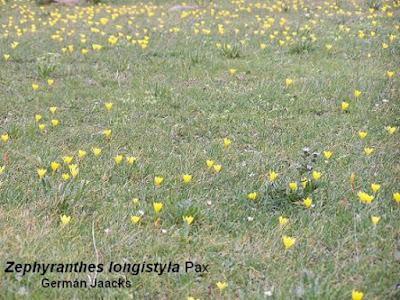 Zephyranthes longystila