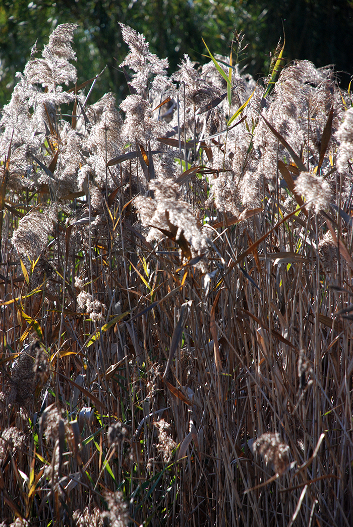 reeds with seed heads on the canoe trail