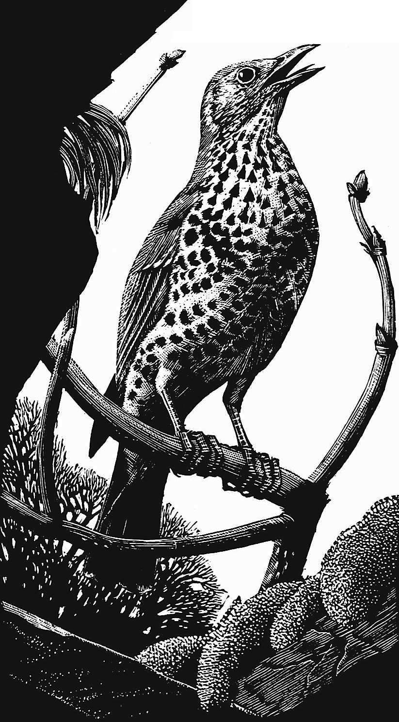 a Charles F Tunnicliffe illustration, singing bird on branch