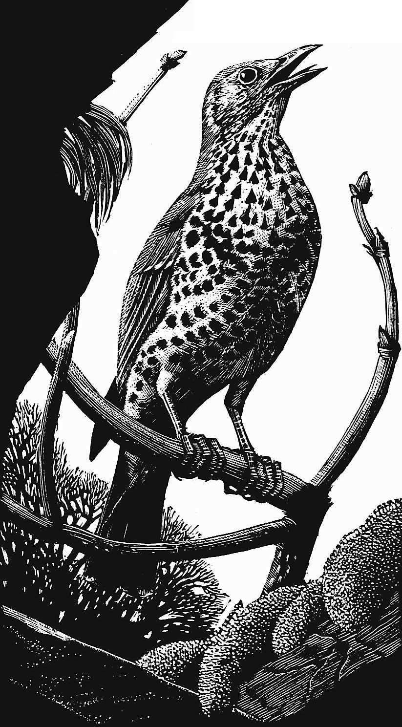 a Charles F Tunnicliffe illustration, singing bird on branch