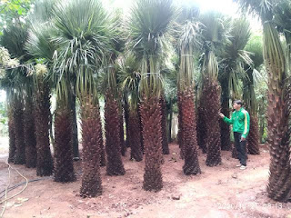 Jual Pohon Palem Moreli - Aneka Pohon Palem