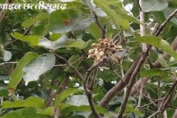 बरसात गई नहीं की फूलने लगी महुआ के फूल।mahua full