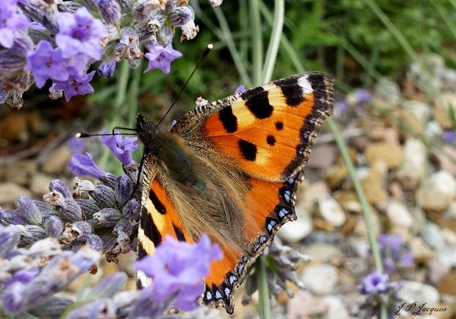 Papillon La Petite tortue