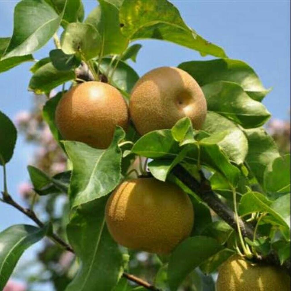 Bibit Buah Pear Asia Pear Choklat Pangkalpinang