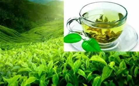 Green Tea Health Benefits – Reasons You Should Drink Green Tea Regularly