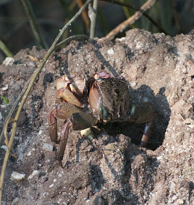 mud crab sp